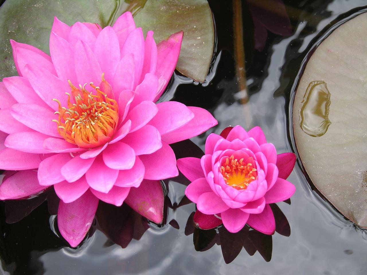 lily-pad-plaisirdetresoi-plaisir d etre soi-meditation-pleine conscience